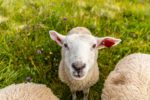 Selfish Sheep